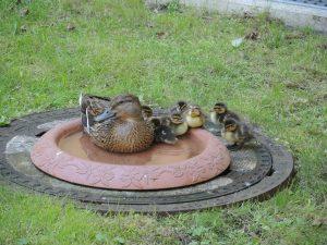 Entenfamilie gerettet